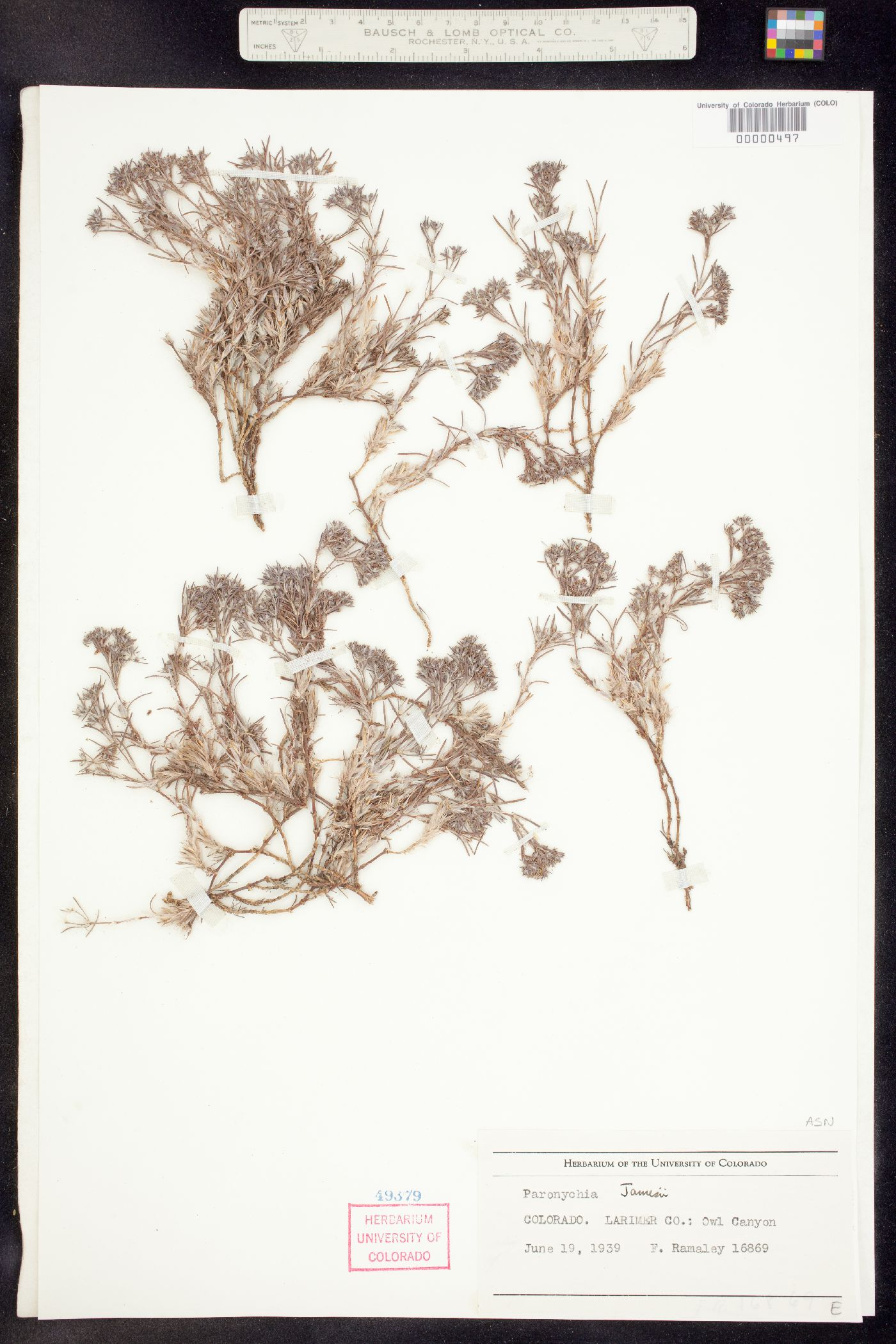 Paronychia image