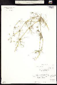 Image of Spergula arvensis