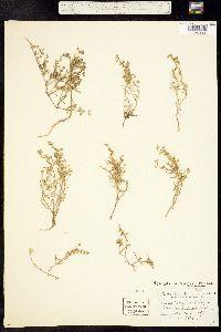 Image of Spergularia marina
