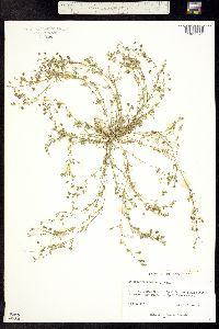 Image of Spergularia rubra