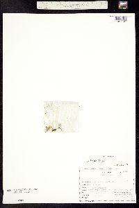 Image of Stellaria irrigua