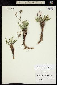 Image of Aletes eastwoodiae