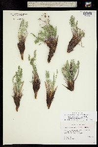 Lomatium eastwoodiae image