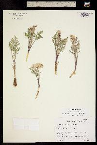 Image of Cymopterus constancei