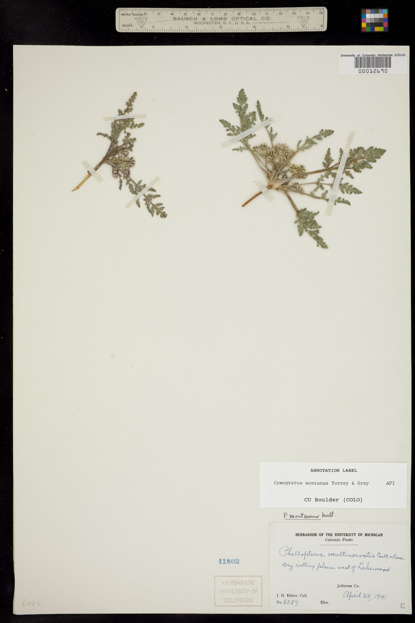 Vesper montanus image