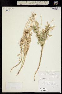 Cymopterus planosus image