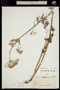 Image of Ligusticum porteri