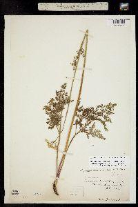 Ligusticum tenuifolium image