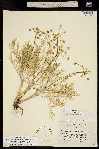 Lomatium bicolor image