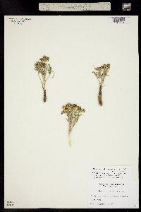 Musineon divaricatum image