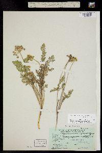 Musineon divaricatum var. divaricatum image