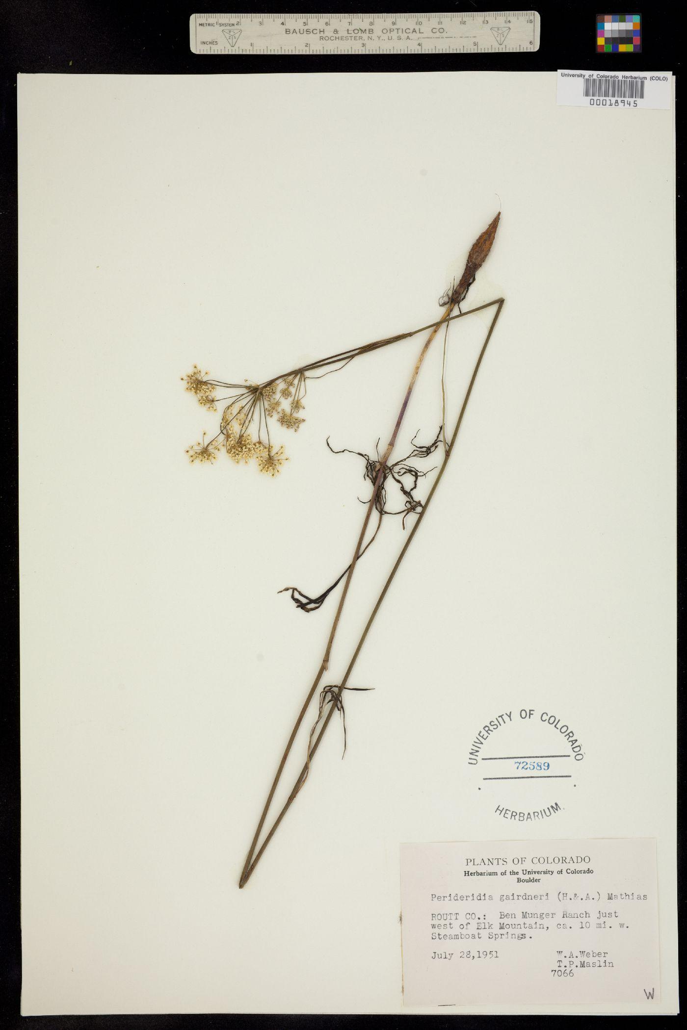 Perideridia gairdneri ssp. borealis image