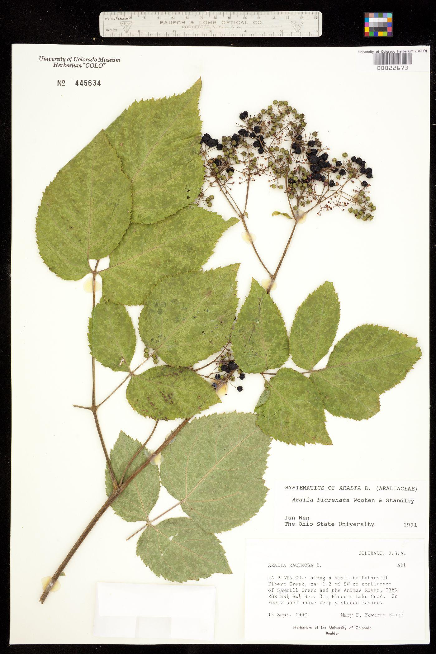 Aralia racemosa ssp. bicrenata image