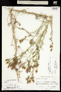 Image of Acosta maculosa x diffusa