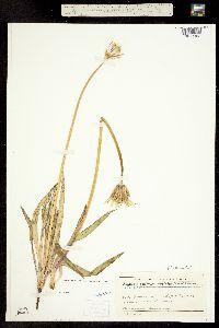 Agoseris glauca var. agrestis image