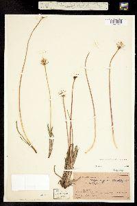 Agoseris glauca var. glauca image