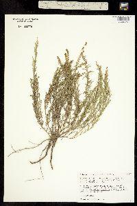 Ambrosia linearis image