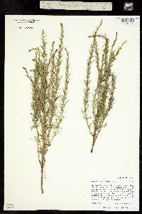 Image of Ambrosia linearis