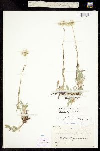 Image of Antennaria corymbosa