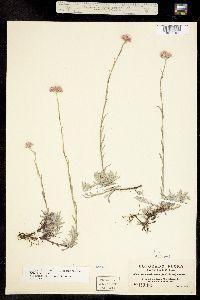 Antennaria rosea image