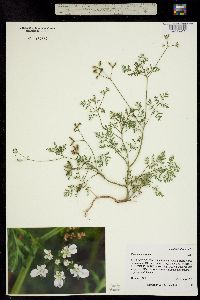 Image of Caucalis daucoides