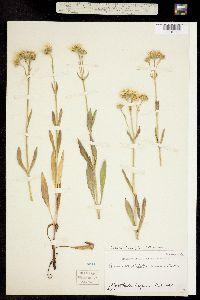 Arnica chamissonis subsp. foliosa image