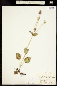 Image of Arnica latifolia