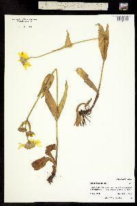 Arnica mollis image