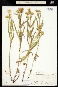 Image of Arnica longifolia