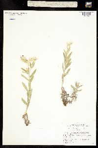 Image of Anaphalis margaritacea