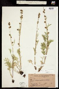Artemisia arctica subsp. saxicola image