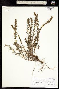 Image of Artemisia michauxiana