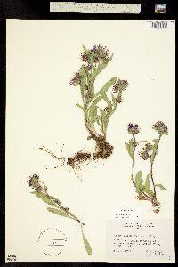 Symphyotrichum foliaceum image
