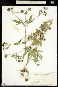 Image of Bidens vulgata