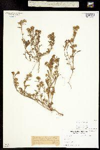 Image of Brachyactis frondosa