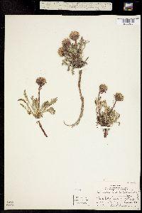 Image of Chaenactis alpina
