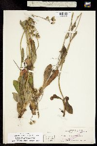 Image of Chlorocrepis albiflora