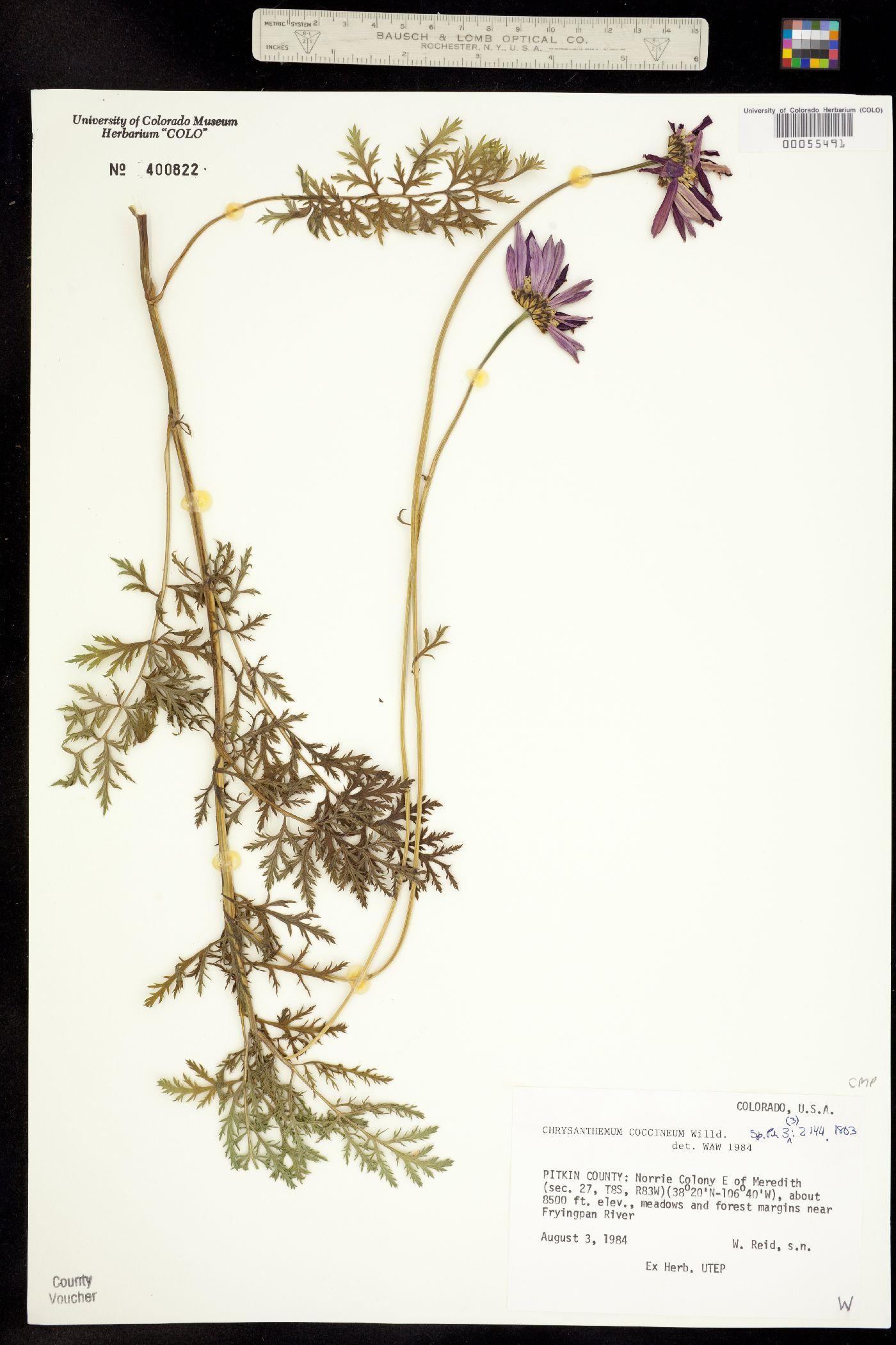 Tanacetum coccineum image