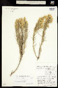 Ericameria parryi image