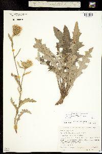 Cirsium centaureae image