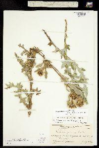 Image of Cirsium eatonii
