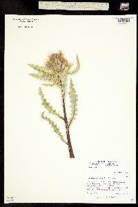 Cirsium scopulorum image