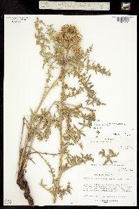 Cirsium ownbeyi image