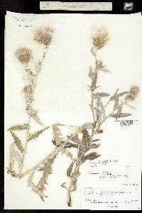 Image of Cirsium tracyi