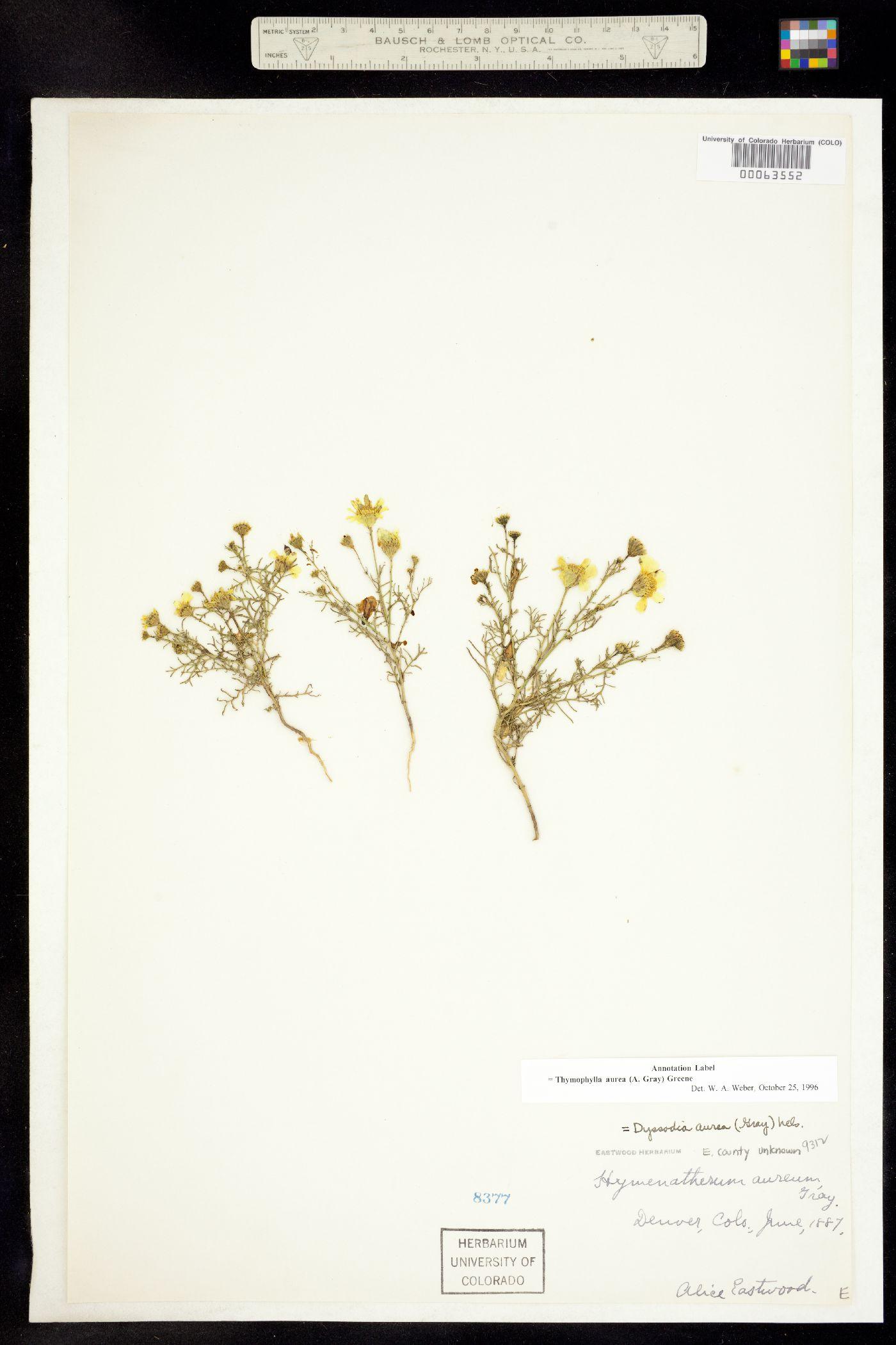 Thymophylla aurea image