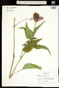 Image of Echinacea purpurea