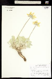 Image of Enceliopsis nudicaulis