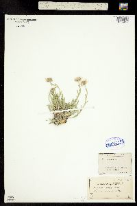 Erigeron canus image
