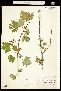 Acer glabrum image
