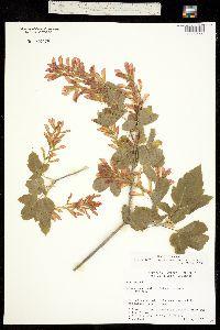 Negundo aceroides ssp. interius image